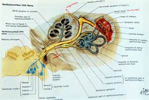Geniculate ganglion images galleries healthgalleries com