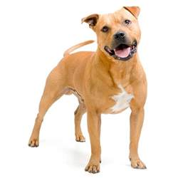 american pitbull terrier colors american pit bull terrier breed 187 everything about the
