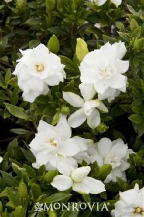 Gardenia Zone 6 1000 Images About Gardenia On Gardenias