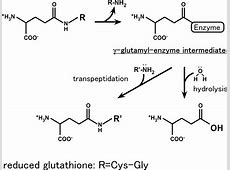 Crystal structures of γ-glutamyltranspeptidase from ... Gamma Glutamyl Transferase