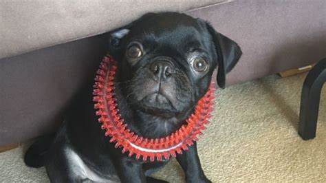 14 week pug egg the pug s owner fined 1000 for dognapping tale