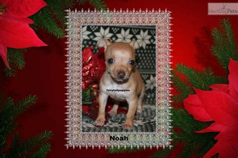 pomeranian puppies for sale in mcallen 72 best cutest tiny puppies for sale images on puppies small