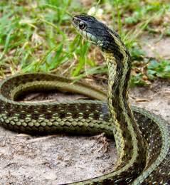 Garden Snake Missouri Eastern Garter Snake Southeast Missouri Flickr Photo