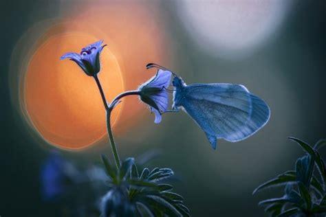 imagenes de mariposas posadas en flores mariposa azul posada sobre una flor lila 62967