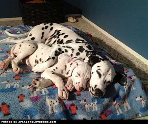how many dalmatian puppies are in pongo and perdita s litter 336 best images about the spotted ones on dalmatian puppies for sale