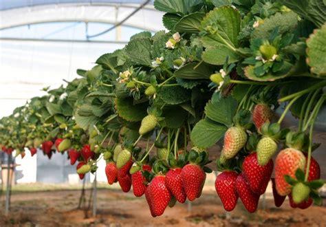libro cos de fresas 191 cu 225 nto cuesta cultivar una hect 225 rea de fresa libros para agr 243 nomos