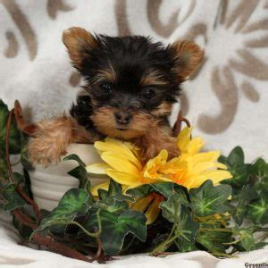 yorkie puppies for sale in pa 300 yorkie puppies for sale
