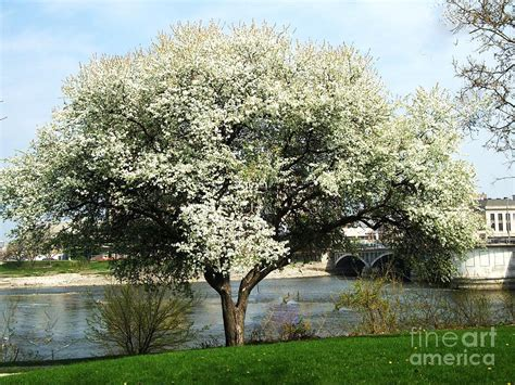 spring white blossom tree photograph by marsha heiken