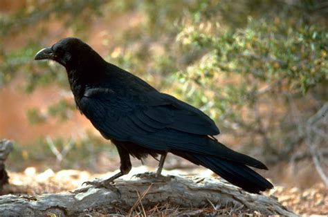 maine s raven birds crows bigger in number this summer