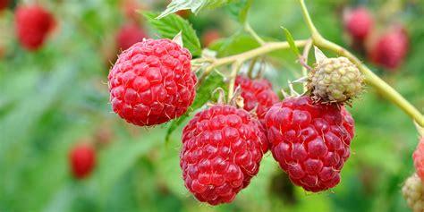 raspberry fruit tree raspberry care