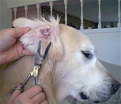 trimming a golden retriever akc golden retriever grooming dogs our friends photo