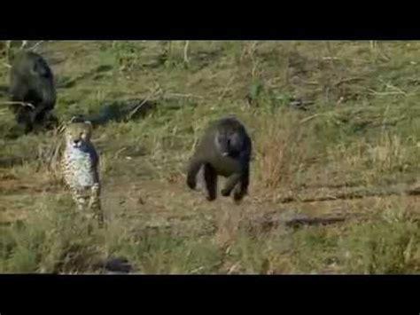 baboon chasing cheetah youtube