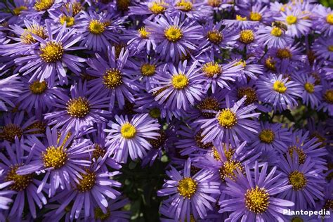 aster color aster plant care how to grow and care for this flower