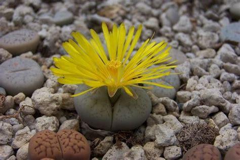 fiore pianta grassa piante grasse con fiore consigli per la coltivazione
