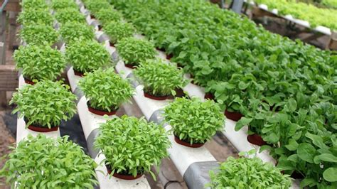 membuat tanaman hidroponik pupuk untuk tanaman hidroponik ngasih com