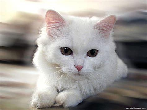 wallpaper cat white white cat wallpaper
