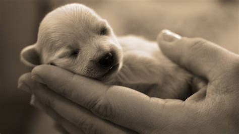 baby puppys newborn puppy dogs wallpaper
