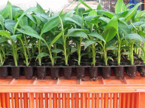 how to grow banana trees from seed the garden of eaden