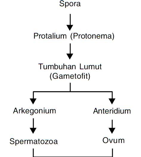 metagenesis tumbuhan lumut bryophyta materi soal