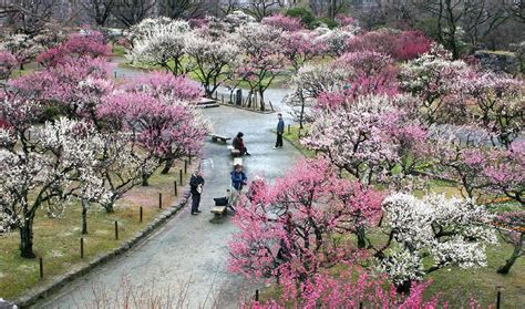 japanese flowering shrubs ume japanese flowering plum trees