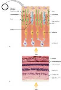 receptor cells in the retina responsible for color vision are photoreceptor cell
