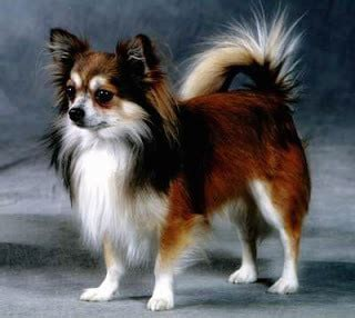 long hair chihuahua hair growth what to expect 55 facts about chihuahuas that you may not know