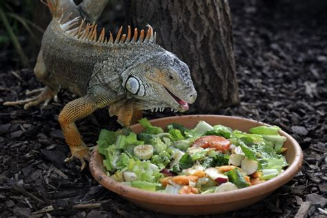 iguana alimentazione cosa mangia l iguana cibi in out tutto ze