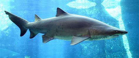 baby shark eating tubar 227 o wikip 233 dia a enciclop 233 dia livre
