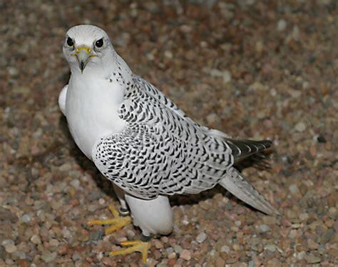 beautiful falcon birds for sale anaheim ca asnclassifieds