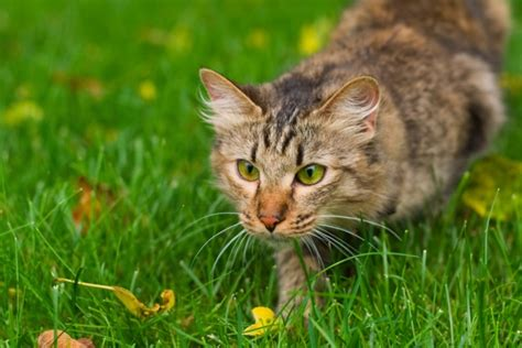 best breeds for cats best cat breeds for pest pawculture