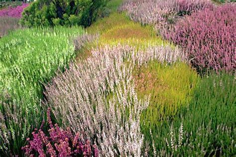 canula fiore erica calluna cura dei fiori delle piante d
