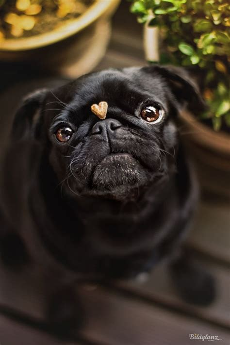 pugs name on in black 10028 best images about pics on