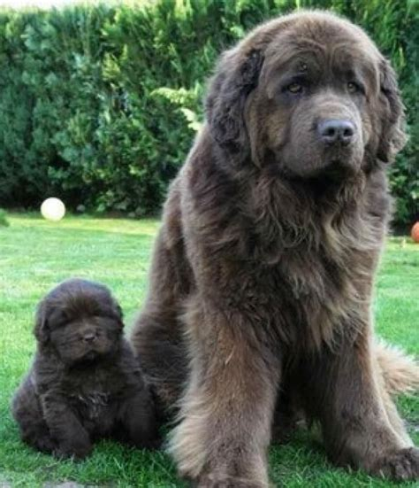 newfoundland weight 25 best ideas about large breeds on wolf dogs large dogs and