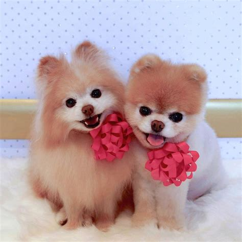 boo the dog christmas buddy and boo wish you a merry they d be the best gifts to receive boo