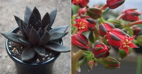 echeveria black knight world  succulents