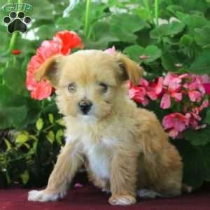 chi poo puppies for sale chi poo puppies for sale chi poo breed info greenfield puppies