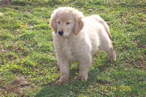 retriever doodle puppies for sale goldendoodles for sale