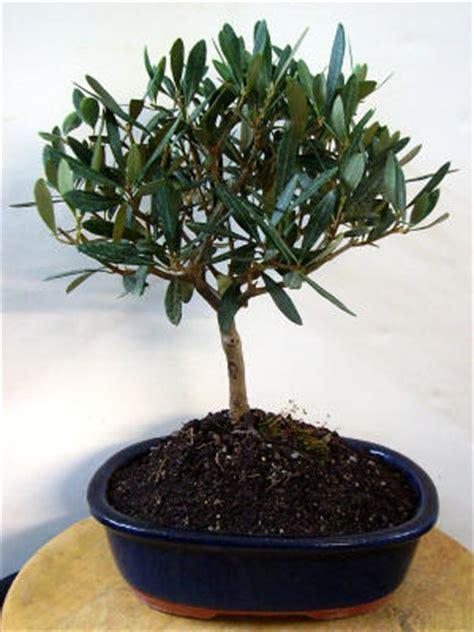 olivenbaum schneiden wann olivenbaum carmens bonsai garten shop f 252 r bonsai