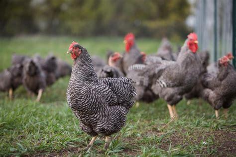 plymouth rock chicken ilhamaku