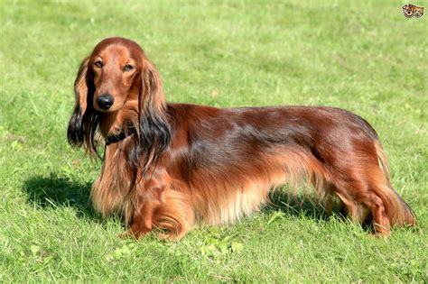 decke hund dachshund breed information buying advice photos and