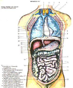anatomie innere organe pin anatomie organe mensch innere des menschen bauch und
