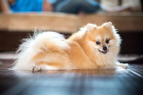 smallest pomeranian in the world the 10 smallest dogs in the world are surprising i had never heard of doggie 10