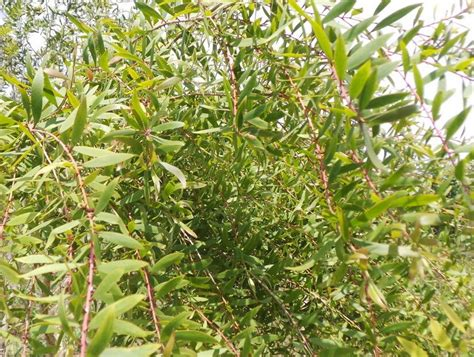 khasiat daun minyak kayu putih wedang angkringan jogja