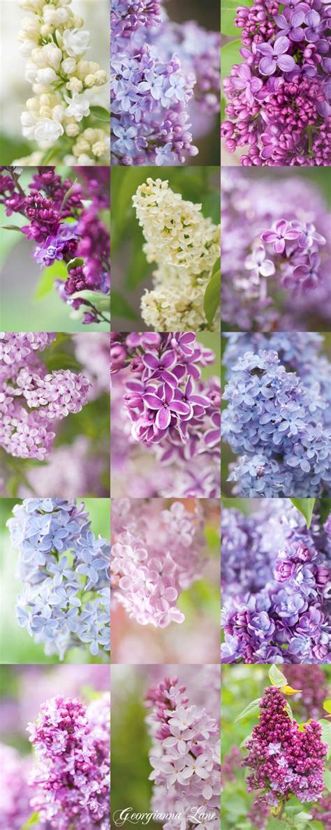 lilacs flower and syringa vulgaris on pinterest