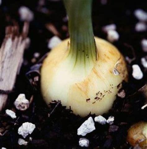 imagenes de flores que se reproducen asexualmente cuidados de las flores de bulbos en el jard 237 n