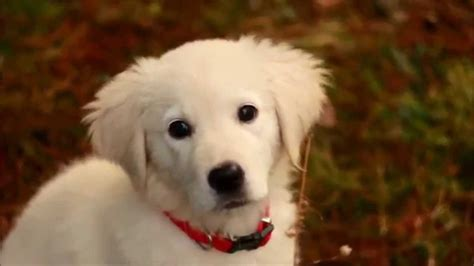 golden retriever 10 weeks golden retriever puppy 10 weeks hd