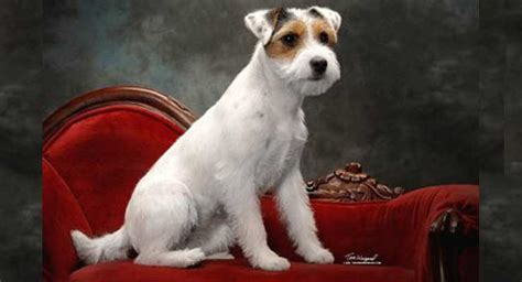 Parson Russell Terrier Dog Breed Information - American ...