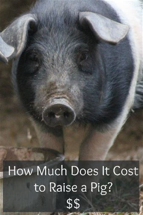 how much does it cost to raise a pig 183 lovelivegrow
