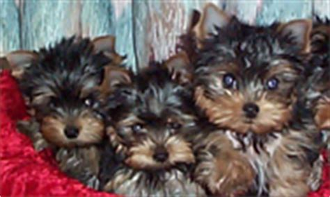 can you a yorkie to use a litter box terriers yorkie puppies breeder information san diego