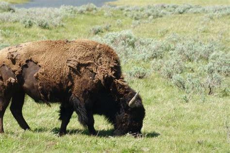 bison shedding its fur about animals